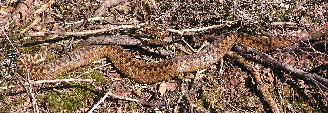 Female adder on the move